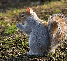 pesky crocus eating tree rat (aka grey squirrel) by Jon Lees