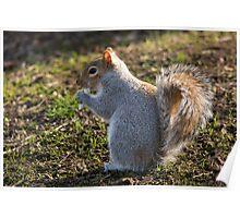 pesky crocus eating tree rat (aka grey squirrel) Poster