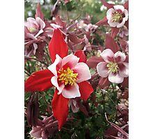 Columbine Garden - Littleton, Colorado Photographic Print