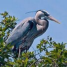 Another Great Blue Heron by Memaa