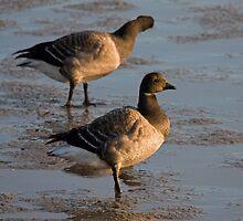 Light bellied brent goose by Jon Lees