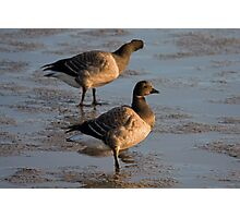 Light bellied brent goose Photographic Print