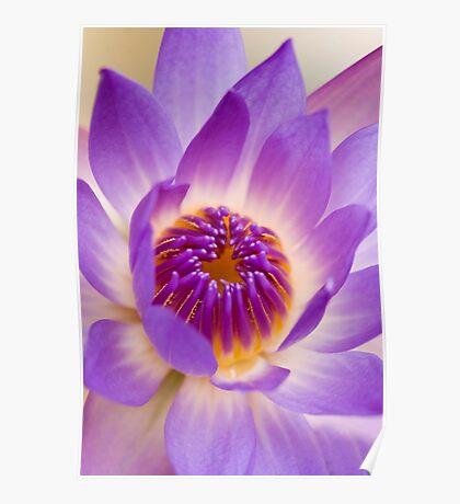 Shining Thru - purple waterlilly Poster