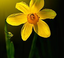 DAFFODIL by Sandy Stewart