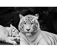 The White Prince Of Tigers Photographic Print