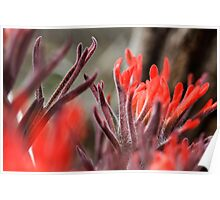 Indian Paintbrush Up Close Poster