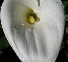 Heart shaped Calla Lily by GnomePrints