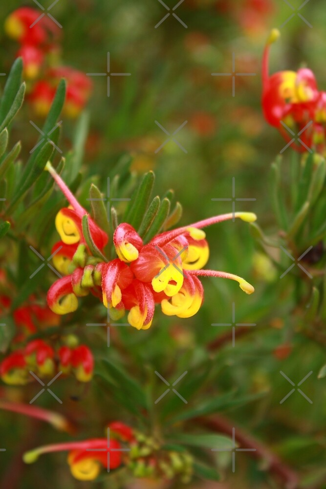 Mountain Grevillea (Grevillea Alpina) by Elaine Teague