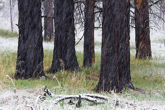 Spring Snow & Black Trees by Kim Barton
