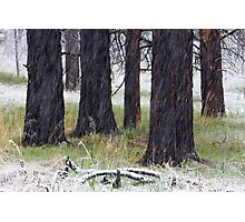 Spring Snow & Black Trees Photographic Print