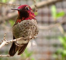 Anna's Hummingbird ~ Male by Kimberly Chadwick