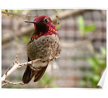 Anna's Hummingbird ~ Male Poster