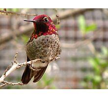 Anna's Hummingbird ~ Male Photographic Print