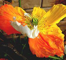 Tri colour poppy.  by sandysartstudio