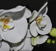 White Phalaenopsis by Rebecca Bryson