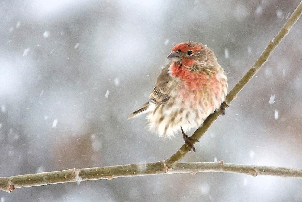 Snowy House Finch by Kim Barton