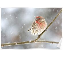 Snowy House Finch Poster