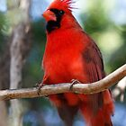Cardinal in Texas 2 by Kim Barton