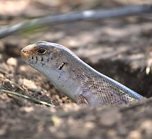 Slater's Skink (Liopholis slateri slateri), Krichauff Ranges, Central Australia by sahoaction