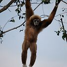 Gibbon by Nicholas Richardson