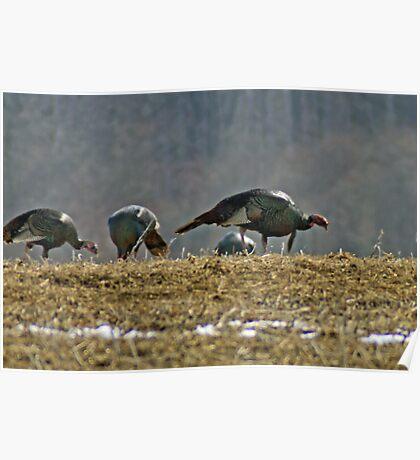 Turkeys Feeding Poster