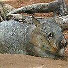 The Aussie Wombat by Rick Playle