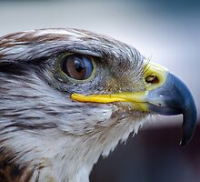 Falcon bird by franceslewis