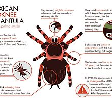 Infographic: Mexican redknee tarantula  by An Nuttin