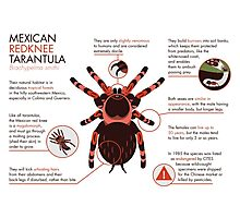 Infographic: Mexican redknee tarantula  Photographic Print