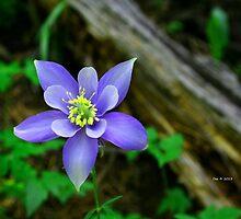 Colorado Blue--Columbine by DeeCarmack