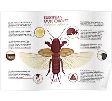 Infographic: European Mole Cricket Poster