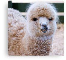 Funny Face - Alpaca Zoodoo wildlife park Canvas Print