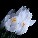 White Crocus by Gisele Bedard