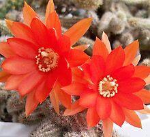 Chamaecereus (aka Peanut Cactus) in bloom by wildworld78