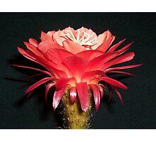 "Trichocereus (Echinopsis) Cactus Hybrid ""Volcanic Sunset"" opening Photographic Print"