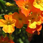 Orange Clivea  Flowers by Virginia McGowan