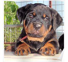 Mollie: A Puppy Portrait Poster