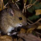 The field mouse by AngiNelson