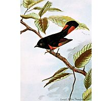 Redstart Bird Illustration Photographic Print