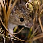 Cute field mouse by Angi Wallace