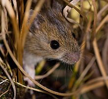 Cute field mouse by AngiNelson
