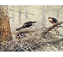 Sparrow Hawks Photographic Print