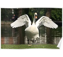 Swan stretching in St Steven's Green Poster