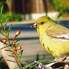 Goldfinch in the Garden by jsmusic