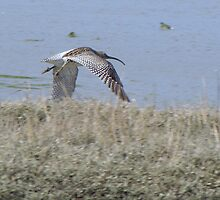 Curlew 04 by Sharon Perrett