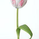 tulip by OldaSimek