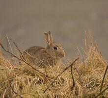 European Wild Rabbit by Jon Lees