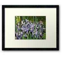 Saucy Irises Framed Print