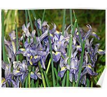 Saucy Irises Poster