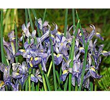 Saucy Irises Photographic Print